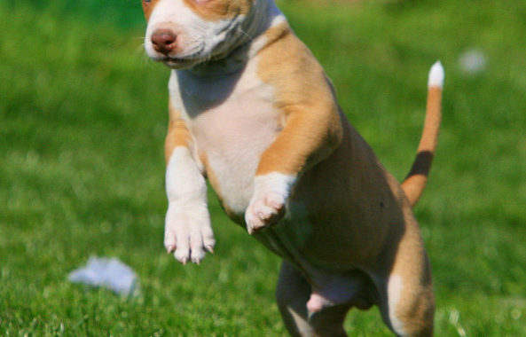 Red Nose Pitbull – What Make Them So Different From Other Pitbull Dogs?