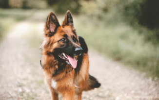 Awesome Ideas For German Shepherd Names-How To Choose The Best One