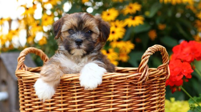 Shorkie – The Shih Tzu Yorkie Mix – Perfect Companion For Busy People