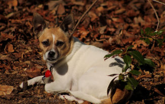 Chihuahua Terrier Mix – The Devoting Dog Of One Owner Only