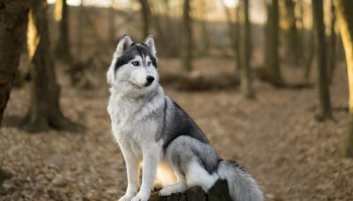Best Ideas For Husky Names That Fit Your Dog's Blue Eyes Perfectly