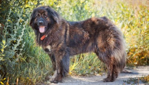 Russian Bear Dog – The Black Pearl of Russia