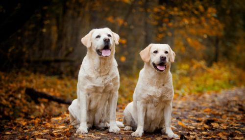 Stunning Golden Retriever Names Should Go with Your Lovely Scottish Friends