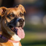 Black Mouth Cur – The Native American Dog With Long Lifespan and Strong Heart