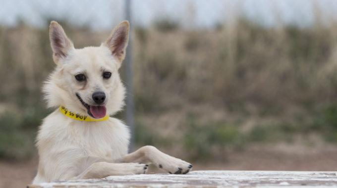 Pomeranian Chihuahua Mix – The Perfect Furry Soul-Buddy For Life