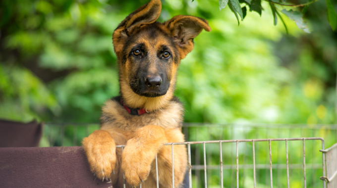 Belgian Malinois vs German Shepherd – Who Will Be Your Next Housemate?