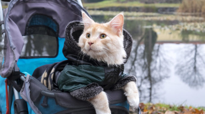 Why You Should Put Your Pet in a Stroller?